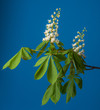 chestnut tree flower - isolated on blue