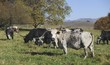NGUNI cattle. A breed of hardy indigenous african cattle