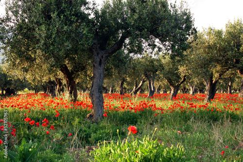 Albero di ulivo e papaveri