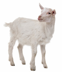 young goat isolated on a white background