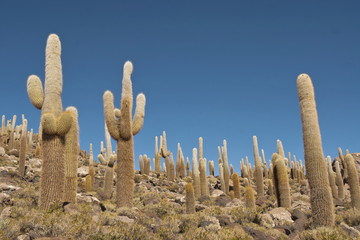 Giant cactus forest in salt desert Uyuni, Bolivia.