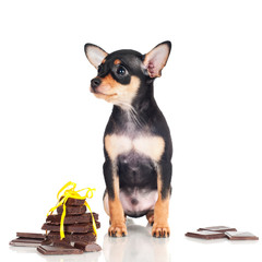 adorable little puppy with pieces of chocolate