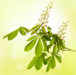 chestnut tree flower - isolated
