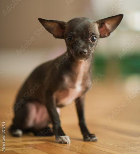 Portrait Of Young Chihuahua