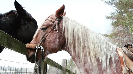 Horses on a ranch - stallion and mare sniffed through the fence