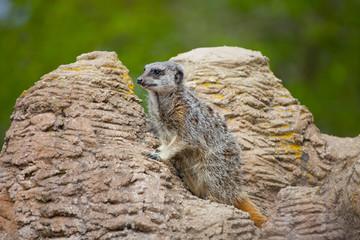 Meerkat or suricate standing