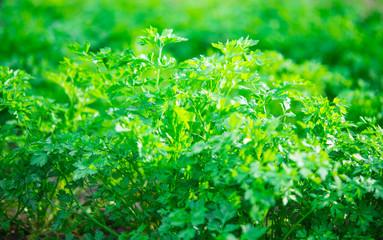 parsley growing
