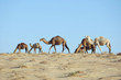 Camel grazing grass