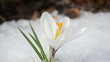 saffron crocus spring bloom closeup between snow move in wind