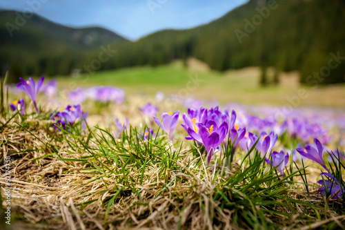 Beautiful crocus flowers in Tatry