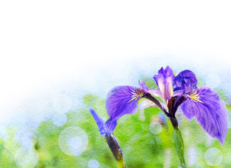 watercolors iris flowers on a green background for the text.
