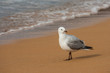 basking seagull on beach