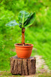 young potted banana plant, on colorful background