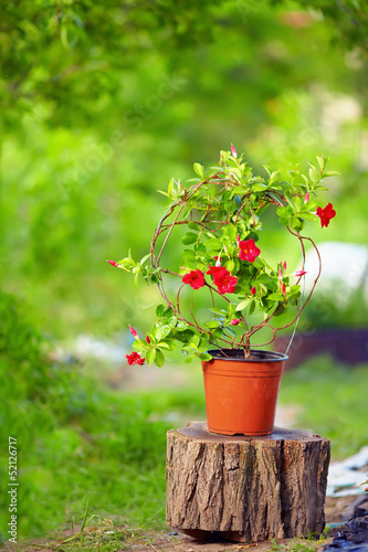 beautiful blooming Dipladenia plant, on colorful background
