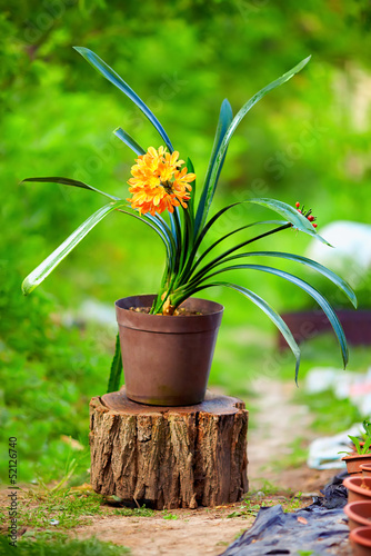 blomming potted Clivia plant, colorful outdoors