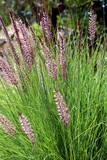 Fototapety Pennisetum setaceum, a perennial bunch grass