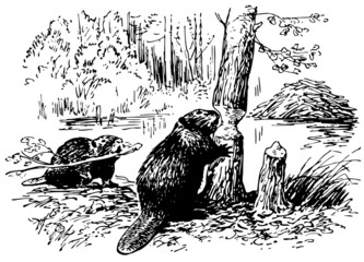Eurasian Beavers at work