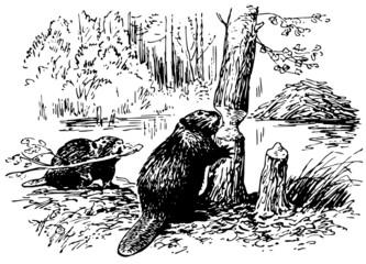 Eurasian Beavers at work