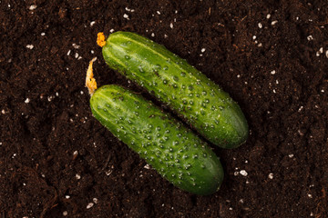 cucumbers on the soil