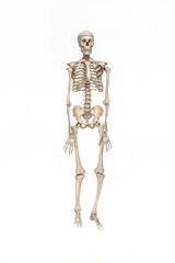 Skelett -Male Human Skeleton