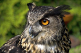 The profil of the tame great horned owl siiting on the stand