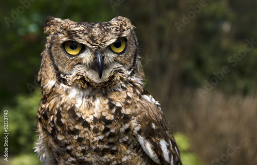 The portrait of the tame horned owl sitting on the stand