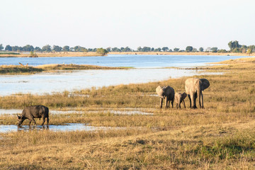 A group of elephants and a buffalo in Botswana