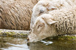 thirsty sheep