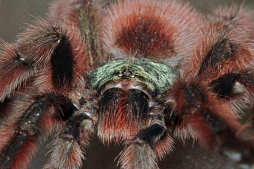Portrait of a bird spider (Acanthoscurria Geniculata)
