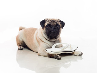 pug and sandals