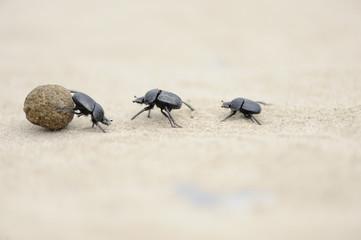 3 escarabajos peloteros