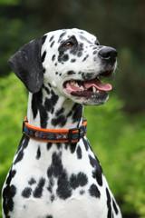 Portrait of beautiful dalmatian bitch