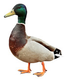 Mallard Duck with clipping path.