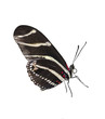Zebra Longwing (Heliconius Charitonius) Butterfly