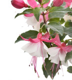Pink And White Fuchsia