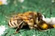 Closeup photo of bee at bee colony