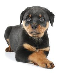 Little Rottweiler puppy dog lies down