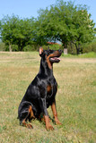 Doberman Pinscher sit on a meadow