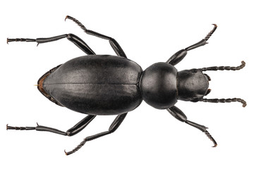 beetle species Tentyria peiroleri