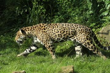 Jaguar im Angriff