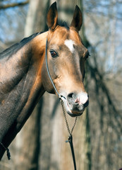 beautiful portrait of purebred ahalteke  stallion in spring fore