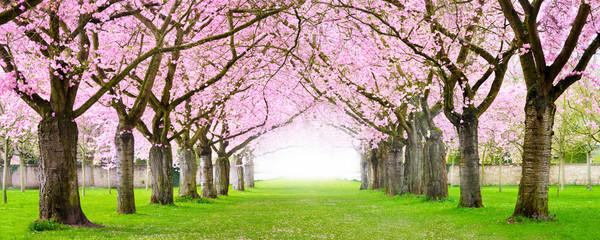 Kirschblüte Panorama