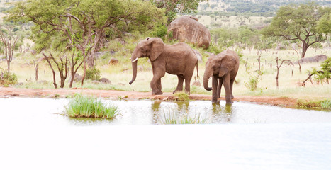 Two elephants at watering hole