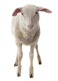 sheep isolated on a white background