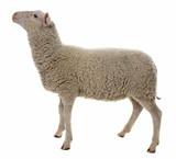 sheep isolated on white background