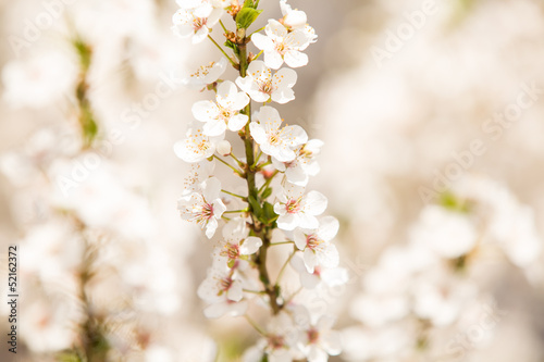 Apricot blossoms in spring, copy space