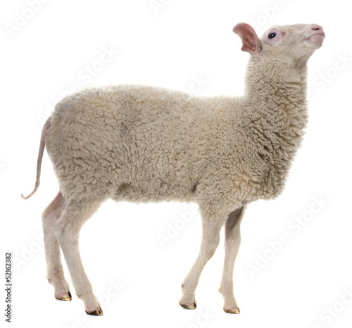 a sheep isolated on white background