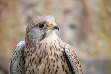 Buzzard with white and brown colors