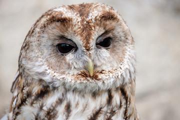 Brown and white owllooking sideways