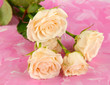 Beautiful creamy roses close-up, on color background